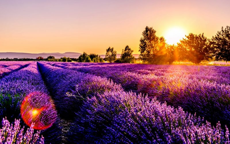 Growing Lavender for Profit