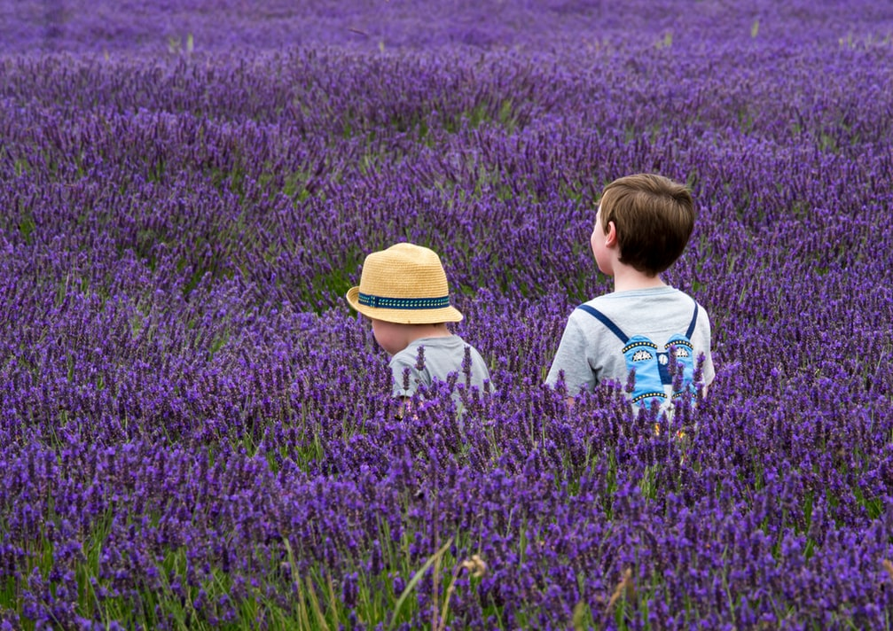 How to Care for A Lavender Plant