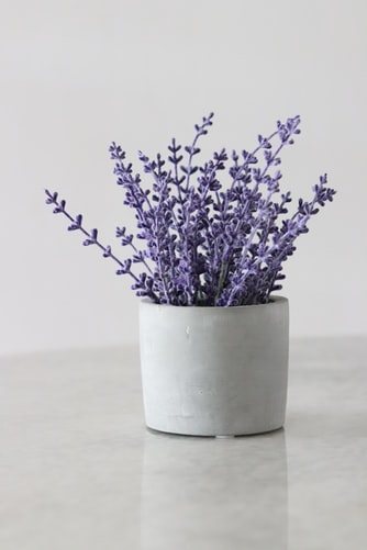 How to Grow Lavender Plant at Home