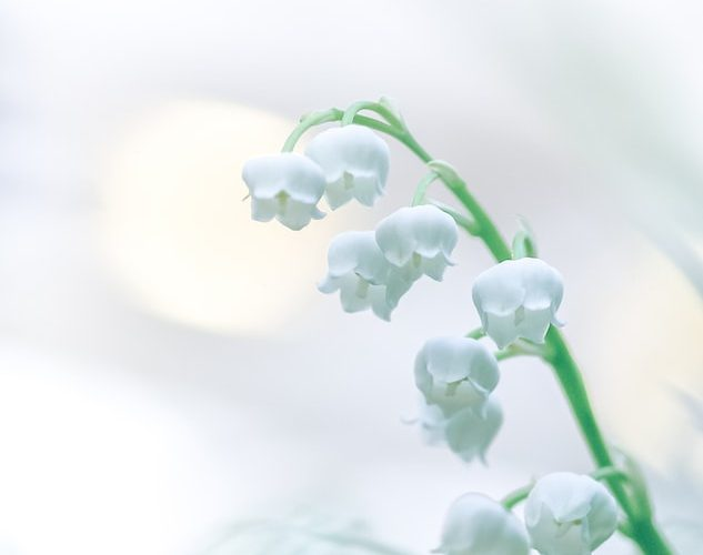 Cultivating Lily Of The Valley